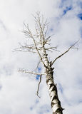 One bare autumn birch on a blue clouds sky backgrounds Stock Photo