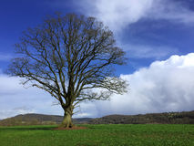 One bare tree in a field with hills in the background. One single bare tree in a field on a sunny day in Herefordshire in England Royalty Free Stock Images