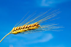 One barley spike Stock Photo