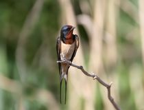 One barn swallow sits. On the reed Stock Photo