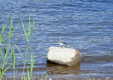 Little young bird on stone near river, Lithuania Royalty Free Stock Images