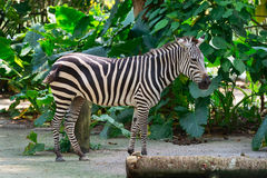 One beautiful black and white stripped pattern Zebra. One beautiful Zebra with black and white camouflage pattern standing outdoor in the jungle Royalty Free Stock Photos