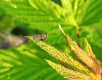 Brown fly on green leaf, Lithuania. One beautiful brown fly insect on nice leaf Royalty Free Stock Photography