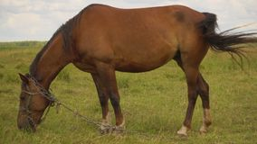 One beautiful horse close-up, grazing in field. stock video footage