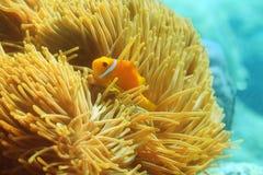 One beautiful clownfish Stock Photo