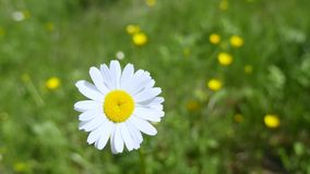 One beautiful daisy in the green grass Royalty Free Stock Photo