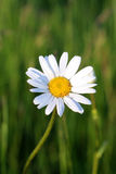 One beautiful daisy. One beautiful daisy in the sunlight Royalty Free Stock Photo