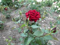 One beautiful dark red rose of the cultivar `Loving Memory` with five buds royalty free stock image