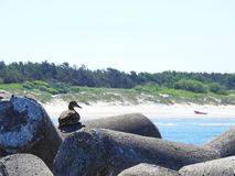 Duck rest on stone near sea, Lithuania Stock Photos