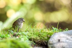 One beautiful Dunnock. In the forest next to a feeding place there is a Dunnock Royalty Free Stock Images