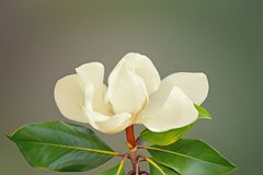One beautiful flower of Magnolia grandiflora. Free space for text. Spring flowers. One beautiful flower of Magnolia grandiflora. Free space for text stock photo