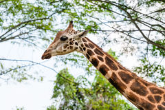 One beautiful Giraffe showing its long neck Stock Photo