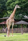 One Beautiful Giraffe standing in the field. And looking for something royalty free stock photography