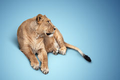 One beautiful lioness lying Stock Photos