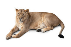 One beautiful lioness lying. Royalty Free Stock Image