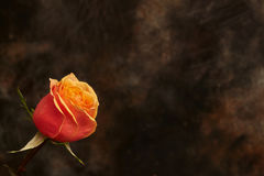 One beautiful orange rose on brown background. With copyspace stock photos