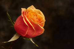One beautiful orange rose on brown background. With copyspace stock photo