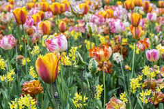 One beautiful orange tulip with some other flowers. In the day in spring Royalty Free Stock Photography