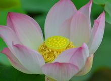 One beautiful Pink Lotus flower. Beautiful Pink bloomed lotus flower during the day in the sun royalty free stock photo