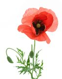 One beautiful red poppy. Stock Photo