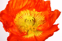 One beautiful red poppy  on white background Stock Photography