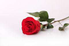 One beautiful red rose Royalty Free Stock Photos