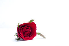 One Beautiful Red Rose Royalty Free Stock Photo