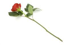 One beautiful rose Stock Photo