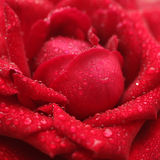One beautiful rose, close-up Royalty Free Stock Images