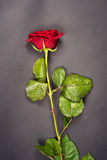 One beautiful rose Royalty Free Stock Images