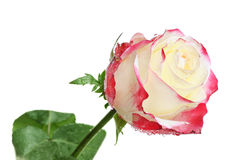 One beautiful rose with dew Stock Image