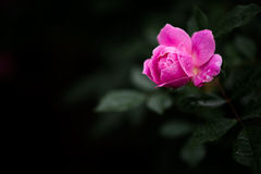 One Beautiful Rose With Dewdrop Stock Photo