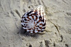 One beautiful sea shell on a beach Stock Image