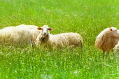 One beautiful sheep in the field Royalty Free Stock Image