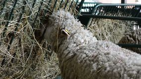 The sheep eat a hay in the stable. One beautiful sheep stands and eats hay in the stable stock footage