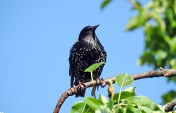 Black starling bird rest on tree branch, Lithuania stock photography