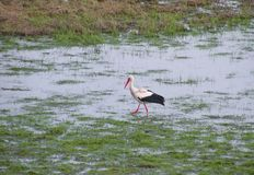 Stork bird walking in flood field, Lithuania Royalty Free Stock Images