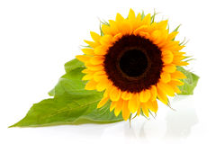 One beautiful sunflower Royalty Free Stock Images