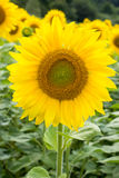 One beautiful sunflower Royalty Free Stock Photos