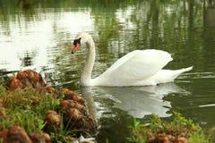 One Swan swim. One Beautiful Swan swim in river stock photo