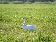 One beautiful swan Royalty Free Stock Images