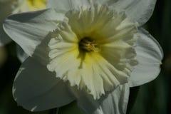 Beautiful white narcissus flower. One beautiful white narcissus flower. Spring Stock Images