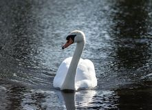 One beautiful white swan swims through the dark, black water. Of the pond, small waves diverge in sides, looks directly into the camera, the bird in the center Stock Images