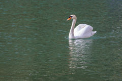 One beautiful white swan Royalty Free Stock Photo
