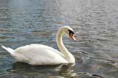 One beautiful white swan on the water. Stock Image