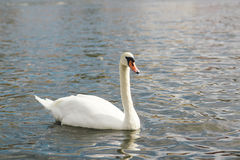 One beautiful white swan on the water. Stock Photography