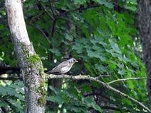 Nice thrush bird on tree branch, Lithuania Royalty Free Stock Photo