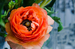 One beauty, spring orange, persian flower buttercup ranunculus macro. Rustic style, still life. Colorful holiday background. Stock Image
