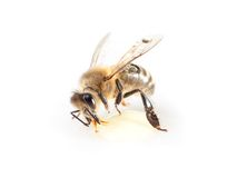One bee Royalty Free Stock Images