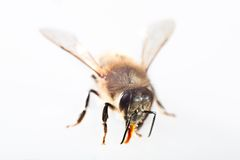 One bee Stock Image
